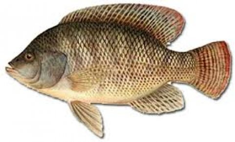 سمك بلطى و السعر جبار
