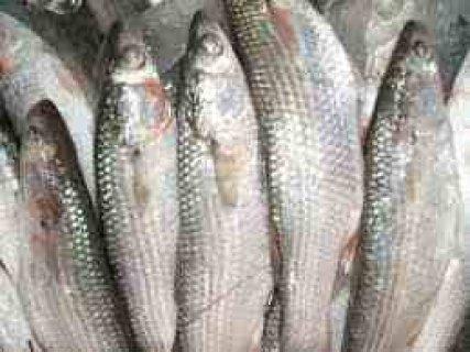 سمك  بورى