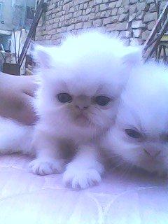 اجمل قطه بيكى عاللى ابيض ثلجى عيون زرقاء