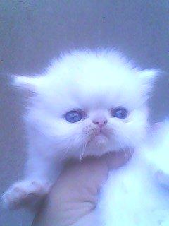 لهواه  التحف اجمل قطه بيكى فيس بيضاء
