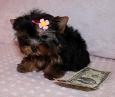 free yorkie puppies for adoption