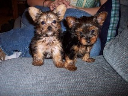 Wonderful Yorkies puppies for Adoption