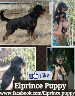 the best puppies rottwieler imported from ukraina