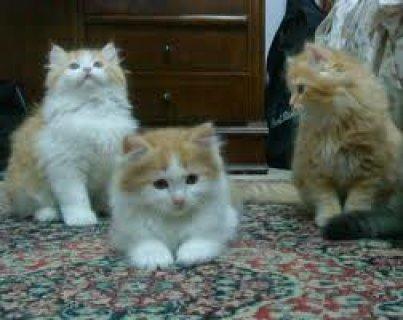 يوجد جميع القطط بانواع واشكال مختلفه