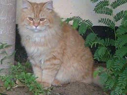 قطط للبيع فى القاهرة وبى ارخص الاسعار