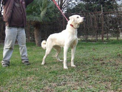 كلب اكباش التركي