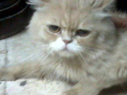 القط الاجمل فى عالم الهاف بيكى