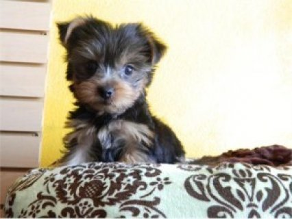 Yorkie Puppies (12 weeks Old)