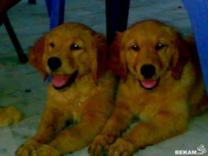 كلاب جولدن للبيع يختلف السعر على حسب اللون مطعمة