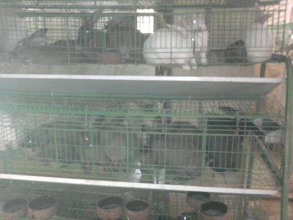 مشروع الارنب للبيع انقي السلالات الاسبانية ويوجد ارانب لحم ايضا