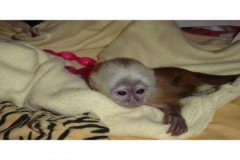 15 أسابيع من العمر USDA القرد قرد