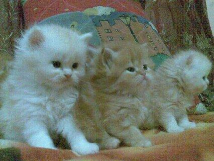 يوجد قطط يبتدى السعر من 60 و70 و80 ال300 ج اتصل وانت الكسبان