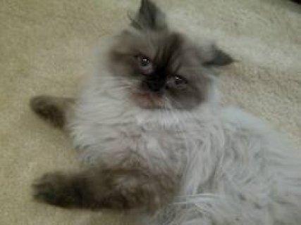 قطه هيماليا بسعر مغرى
