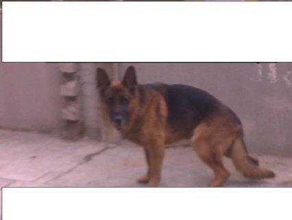 للبيع كلب جيرمن شيبرد بطل عالم 2010 لدواعى السفر