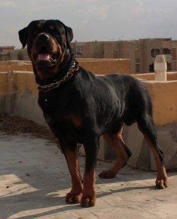 تم البيع بحمد الله ذكر (rottweiler)