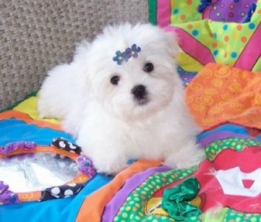 Beautiful Teacup Maltese Puppies adoption