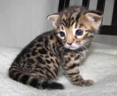 Healthy Bengal Kitten for Sale