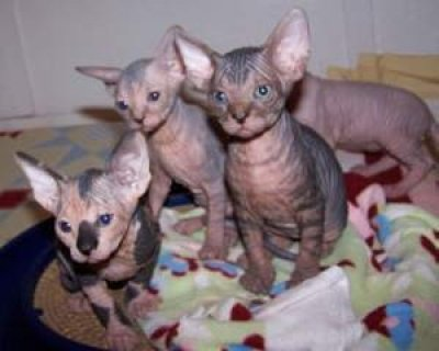 SPHINX KITTENS FOR ADOPTION