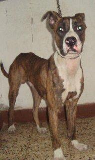 بيتبول برندل سن خمس شهور