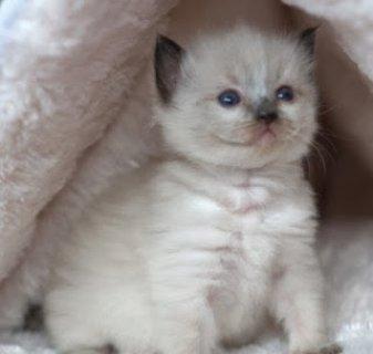 القطط دوول النسب مراسلتنا على clintinlahm@gmail.com