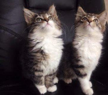 سيبيريا القطط الآن جاهزة   البريد الإلكتروني لنا في