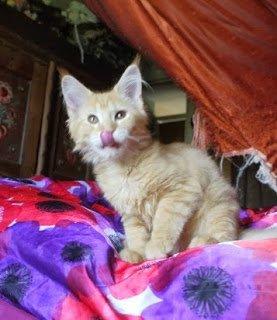 القطط الراكون مين نسب مؤذ للبيع مراسلتنا على clintinlahm@gmail.c