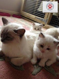 النسب الكامل أموراجز القطط دوول ثنائية اللون للبيع مراسلتنا على