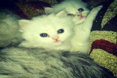 قطة شيرازى مون فيس بيضاء شقية