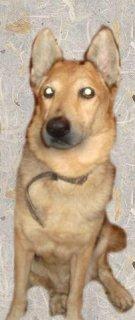 كلب  الشيبرد الروسى شرس حجم ممتاز