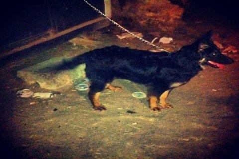 كلبة للبيع بلجيكى