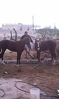 حصان عربي هجين للبيع بسعر مغري