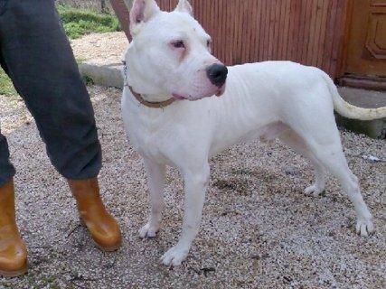 كلب دوجو ارجنتينو للبيع