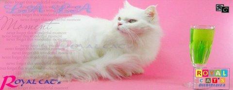 قطه شيرازى أبيض ملقحه حاليا من قط هيمالايا اورانج زرار