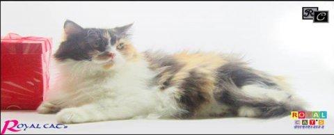 قطه كاليكو شعر كثيف جدا و توزيع الوان تحفه