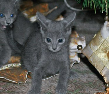صور { wilbergoodman1@gmail.com }Russian Blue Kittens For Adoption 1