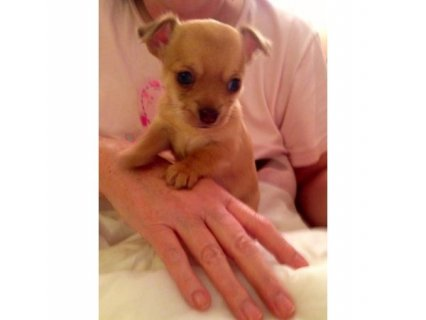 Beautiful Chihuahua Puppies, So small & So cute