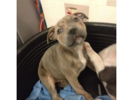 Blue brindle staffy pup **ready to leave