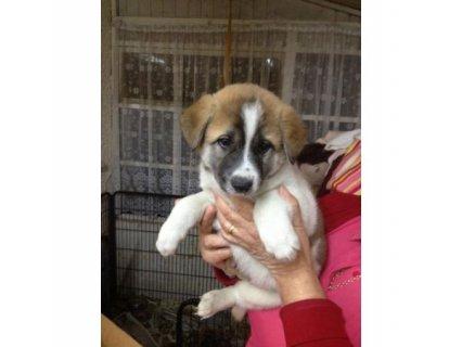 Japanese Akita German Shepherd x pups
