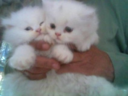 White persian kittens for sell