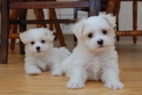 Free Available Male and Female Maltese Puppies for x-mas
