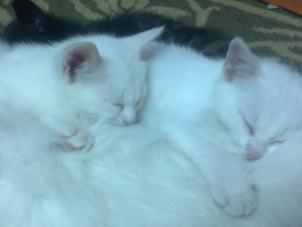 قطط شيرازي لعوبه عمر 45 يوم في مدينة العبور