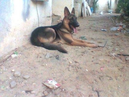 شرس احذر الكلب شرس جدااا