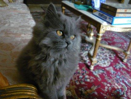 قطط شيرازي للبيع بسعر مغري جدا