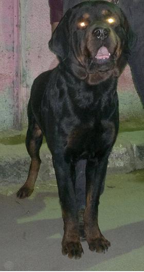 كلب روت للبيع حصري و لفترة محدودة  جامد جدا  تمام