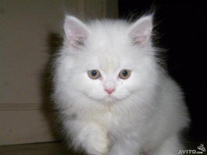 قطه شيرازى جامده جدا وبسعر رخيص جدا