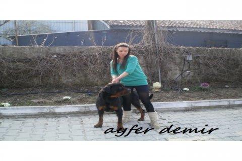 كلب روت وايلر الالماني للبيع