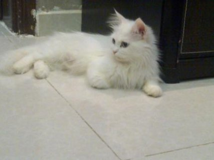 قطط قى القاهرة بسعر مغرى ويوجد اشكال كتير وانواع اكتر