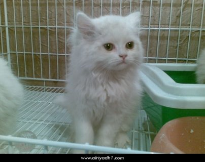 يوجد قطط للبيع بسعر مش عند حد خالص اتصل بسرعه
