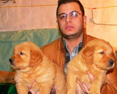 (( Golden Puppies ))))