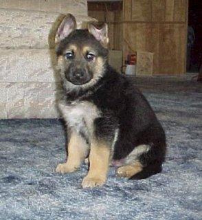 يوجد كلاب شيرمن للبيع فى القاهرة